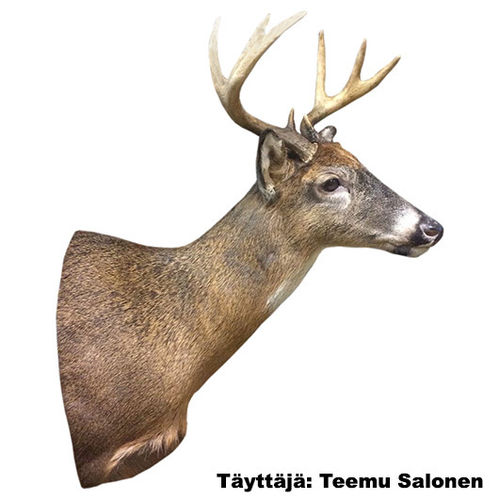 Whitetail deer (18,5 cm) right